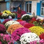 Вот такие цветы вырастила моя